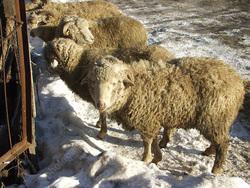 В область не пустили 7 тонн овечьей шерсти