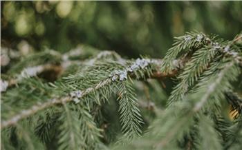 Роспотребнадзор назвал красноярцам оптимальную дату покупки ёлки к Новому году