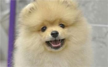 Жительница Ачинска потеряла 20 тыс. рублей при попытке купить щенка шпица в интернете