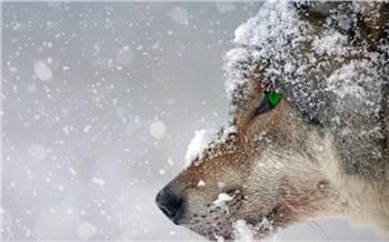 В Норильске продолжаются поиски разгуливающих около города волков