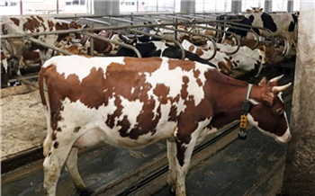 Производители молока в Красноярском крае получат более 80 млн рублей господдержки