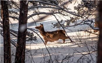 «Лучше вообще не подходите»: дирекция парка «Ергаки» попросила туристов не пугать застревающих в глубоком снегу оленей