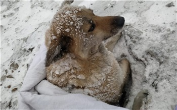 «Вмерзла в снег за четыре дня»: красноярские волонтеры спасли сбитую поездом собаку