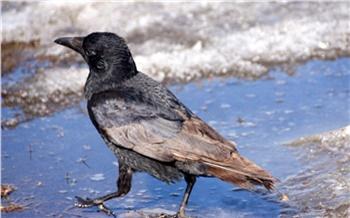 На юге Красноярского края сфотографировали необычную ворону с редким коричневым оперением