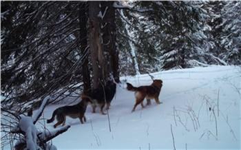 «Седьмая жертва за март»: на красноярских «Столбах» прокомментировали ситуацию с загрызенным собаками маралом