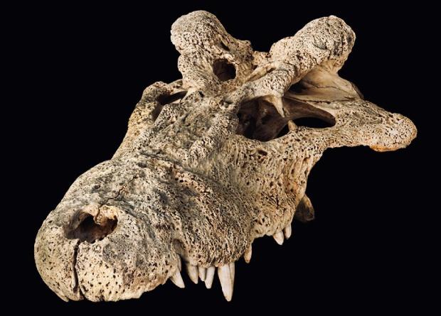 Древние рогатые крокодилы родственны современным особям
