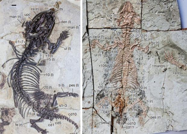Млекопитающие достигли разнообразия до вымирания динозавров