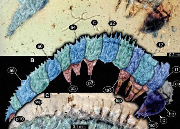 В янтаре обнаружили гусеницу возрастом 100 млн лет