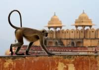 В Индии обезьяны убили похищенного ребенка