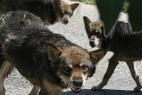 В красноярском нацпарке бездомные собаки за месяц загрызли семь животных