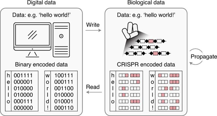 Ученые «программируют» живые бактерии для хранения данных