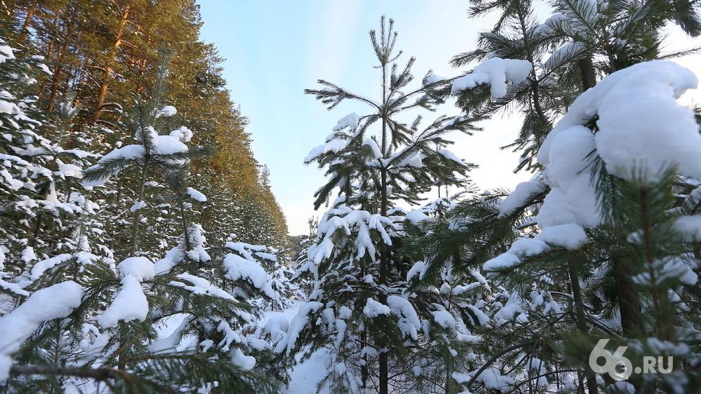 Хочу срубить елку на Новый год. Как сделать это законно и сколько это стоит