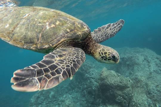 Сотни маленьких черепах отравились пластиком и погибли