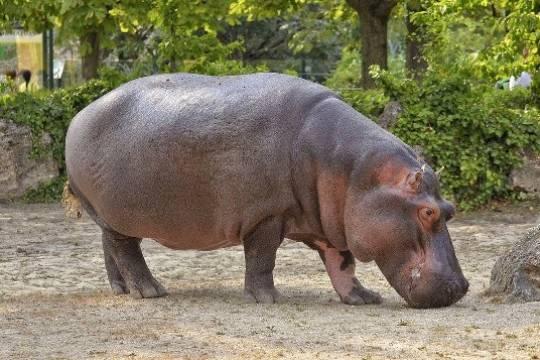 Учёные предупредили об опасности бегемотов Пабло Эскобара