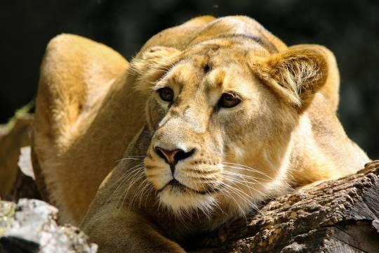 Хозяйка льва объяснила появление хищника на крыше дома в Подмосковье