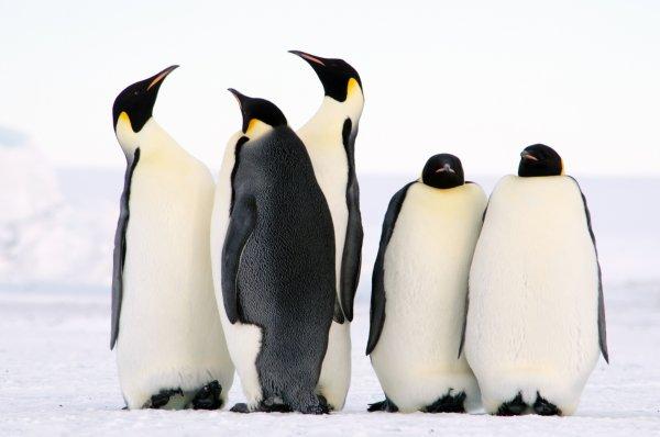 В фекалиях королевских пингвинов ученые обнаружили веселящий газ