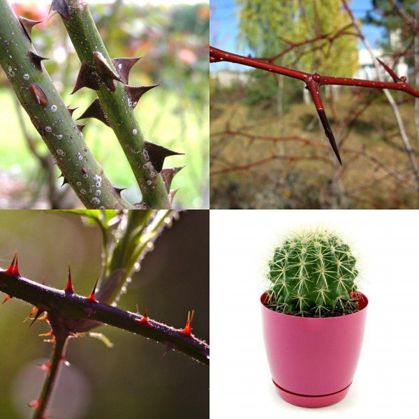 Биологи объяснили принцип роста шипов у растений