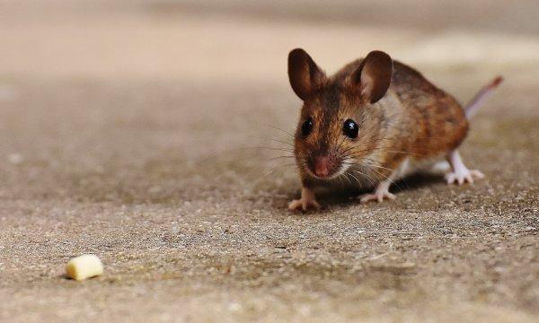 Ученые из США передали в мозг мышей несуществующий запах