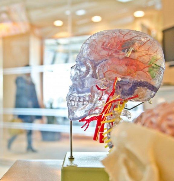 Ученые нашли в мозге человека избыток эволюционных генов