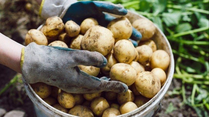 «Как предупреждение»: юрист о возможных штрафах за выращивание картофеля в РФ