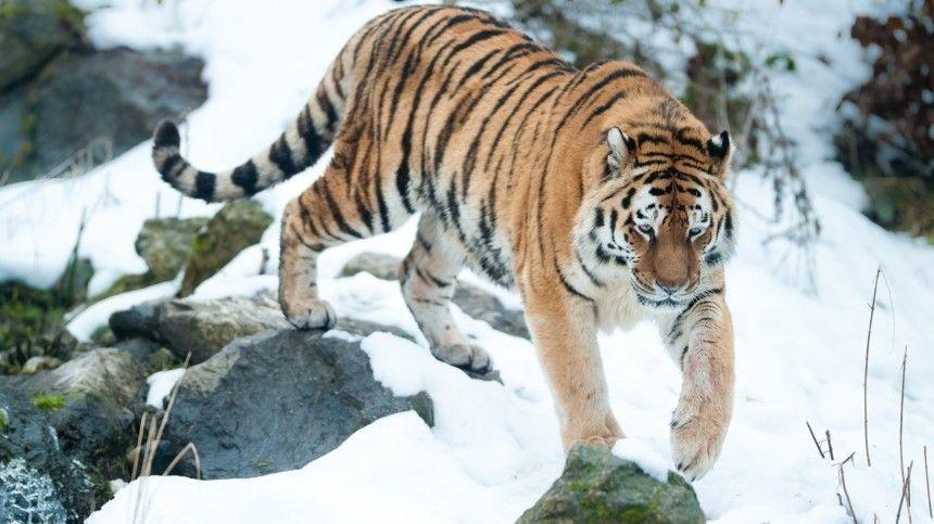 Водитель на Дальнем Востоке загонял по дороге амурского тигренка