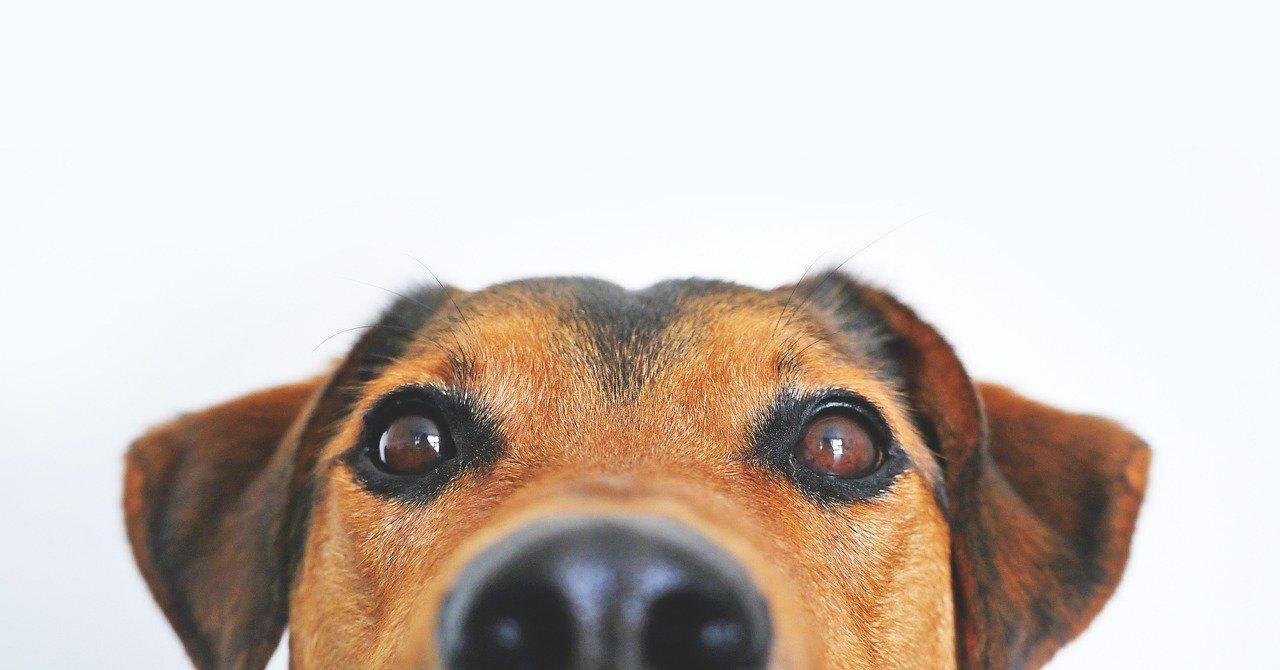 Собаки по запаху смогли распознавать больных коронавирусом