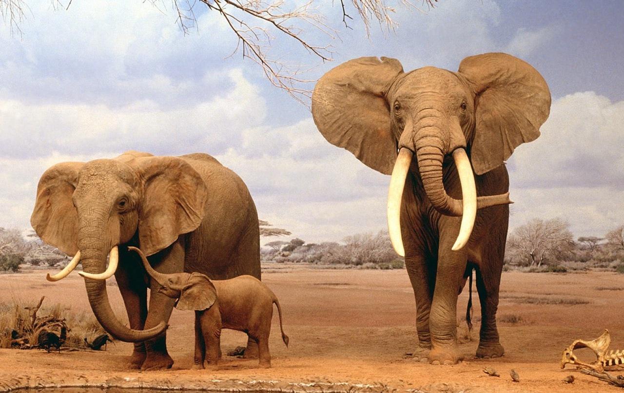 Вымирающий вид слонов обнаружили при помощи ИИ и снимков из космоса