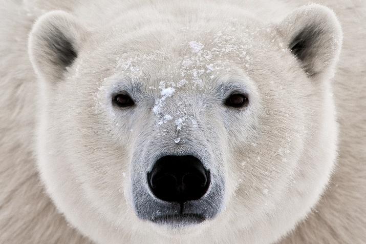 """У """"снежного"""" человека нашли ДНК белого медведя"""
