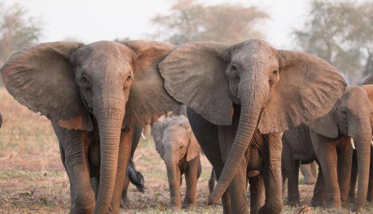 Ученые выяснили, почему слоны редко болеют раком