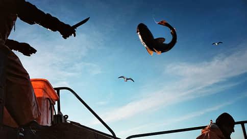 Минтайное становится явным // С избытком рыбы предложено бороться госзакупками