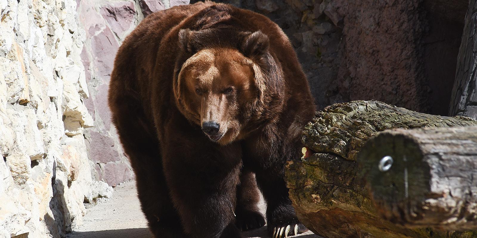 Трансляция из берлоги: как медведи погружаются в спячку