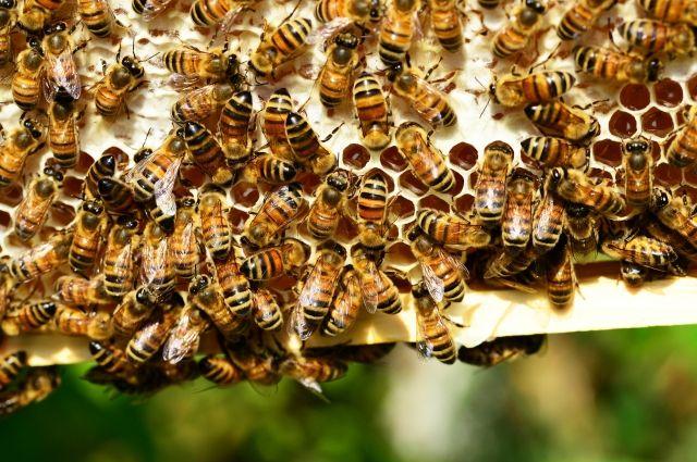 Немецкие ученые предположили, что при COVID-19 поможет пчелиный яд