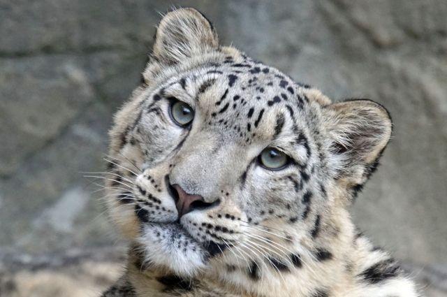 В американском зоопарке у снежного барса выявили коронавирус