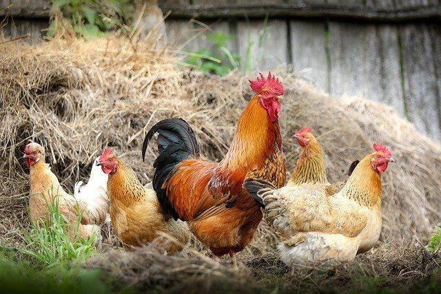 В Японии уничтожили почти 4 миллиона кур
