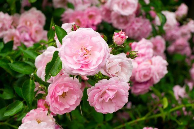 Апрельское обновление. Чтобы сделать, чтобы розы пышно зацвели?