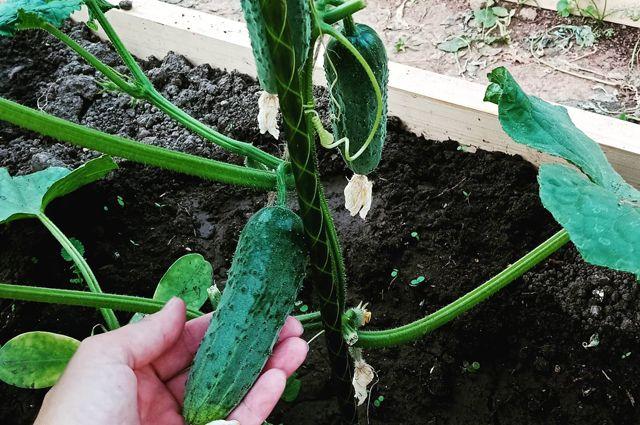 Сразу в грунт. Секреты раннего урожая огурцов