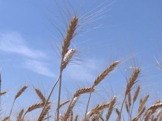 ФАО: сбор пшеницы в России сократится в 2021 году