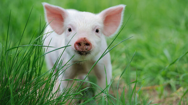 К чему снится свинья