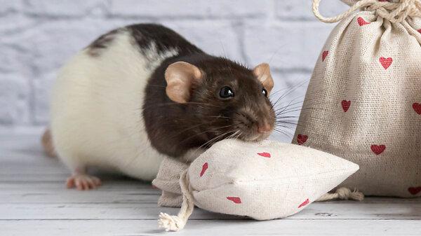 Сколько живут крысы: что надо знать о домашних питомцах?