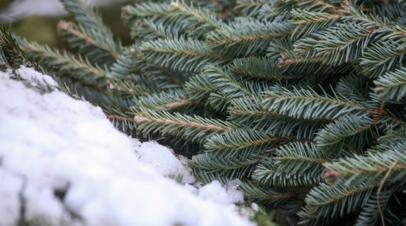 В Роспотребнадзоре дали советы по выбору новогодней ели