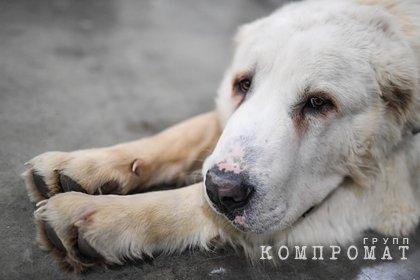 Собака насмерть загрызла ребенка в Подмосковье