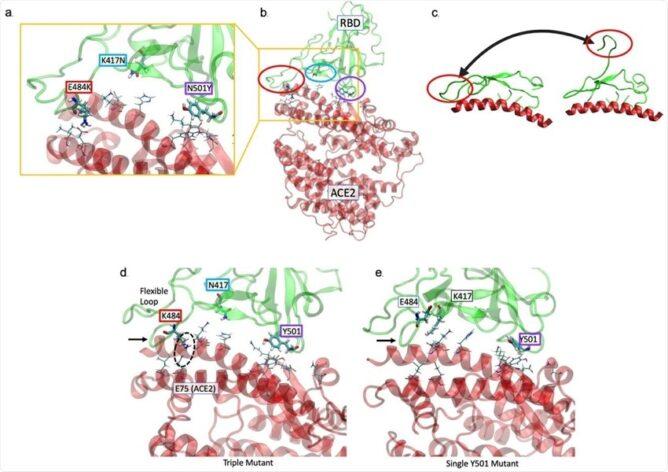 Исследование выявило возможную мутацию SARS-CoV-2, которая может повторно заразить иммунных людей
