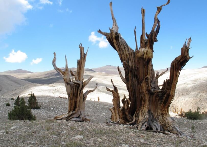 Где находятся самые старые деревья России и сколько им лет?