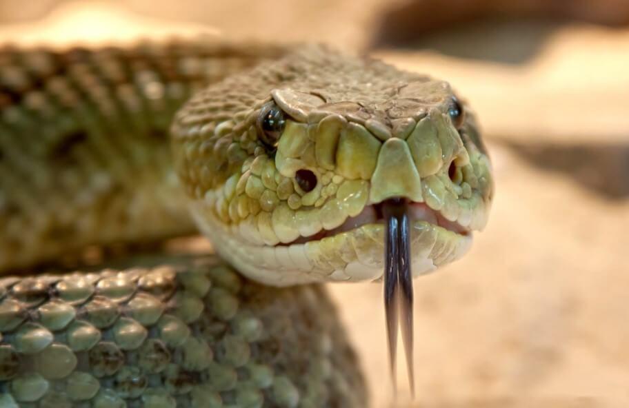 Это противоядие от укусов змей может спасать 100 000 жизней в год
