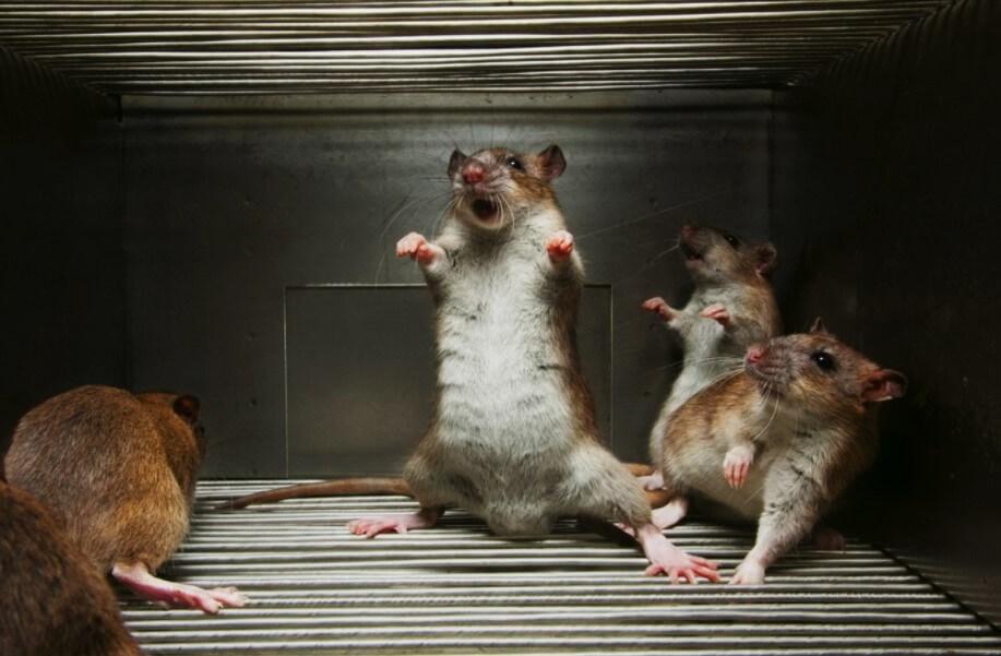 Как ученые превратили обычных мышей в свирепых хищников?