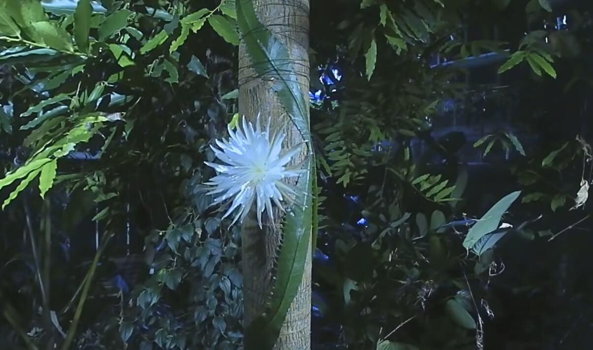 Это растение цветет только раз в году и испускает приятный аромат. Смотрите видео
