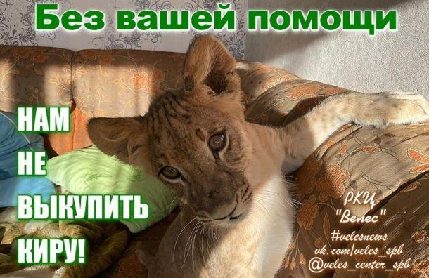 'Велес' собирает деньги на выкуп у владельца львицы Киры