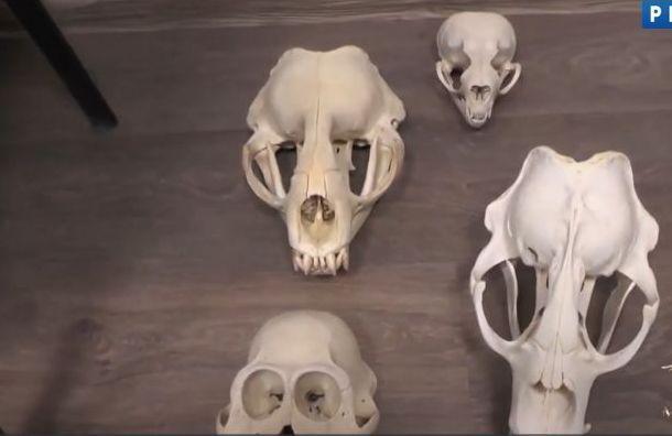 МВД показало пропавшие из Зоологического музея РАН черепа
