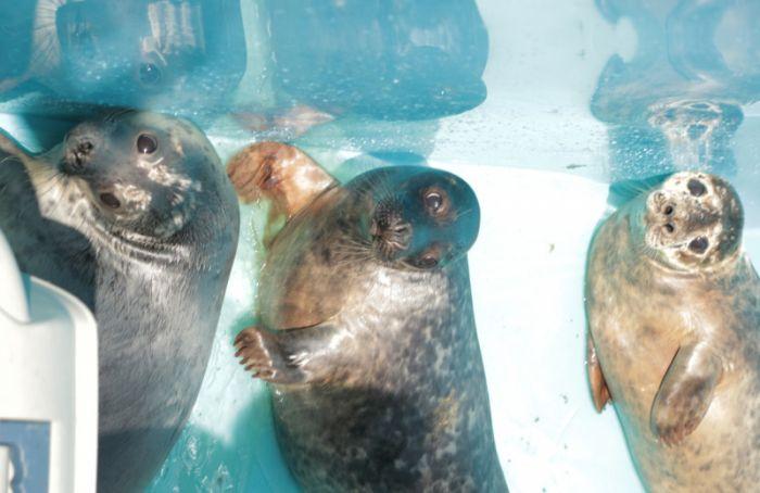 Четырех спасенных тюленей выпустили в Финский залив с военного корабля