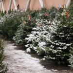 Перед Новым годом в Кисловодске не будут работать елочные базары